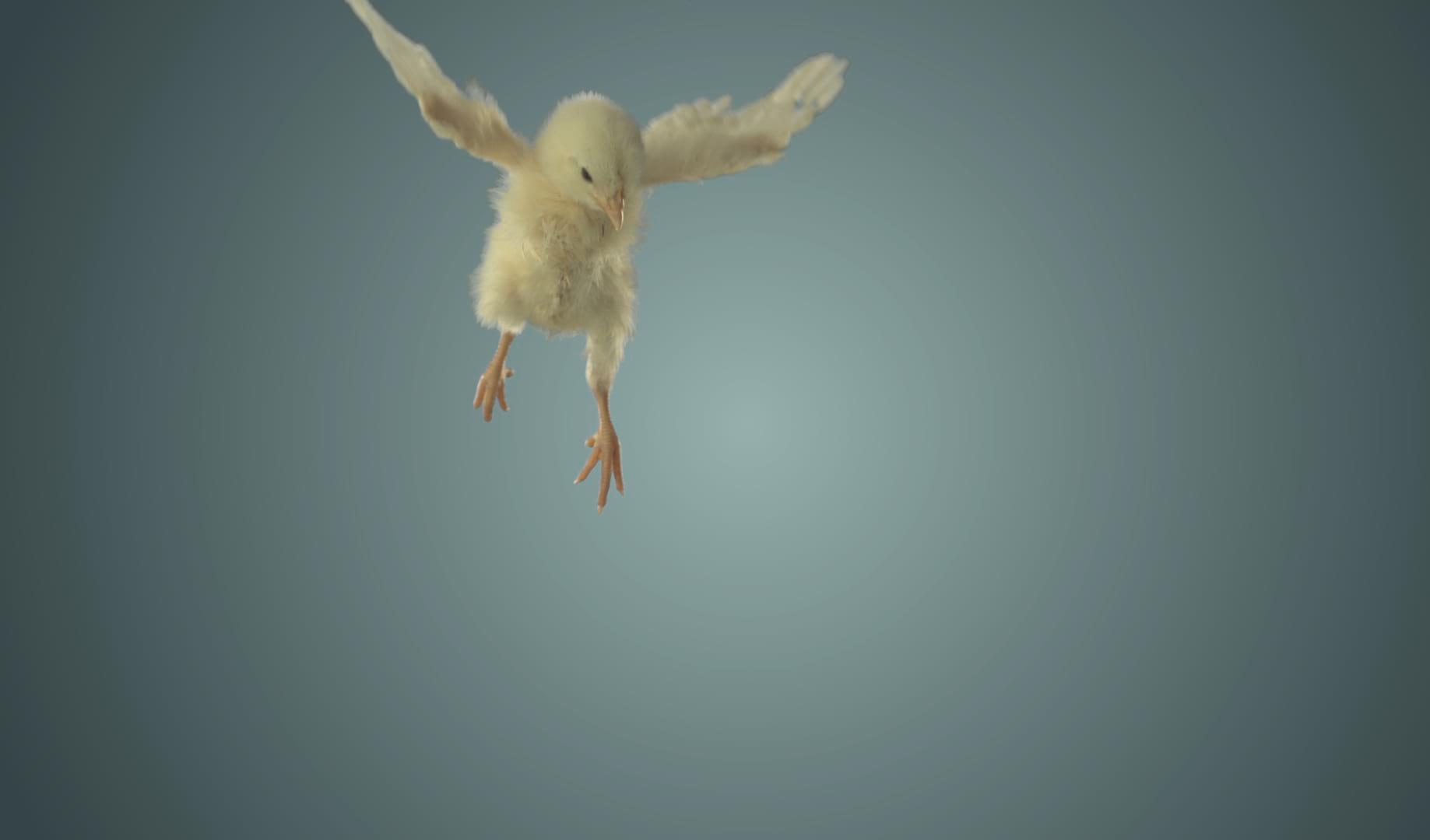 peta – flying chicks